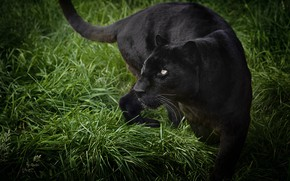 Picture grass, look, pose, Panther, black, wild cat