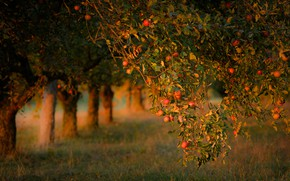 Picture autumn, summer, leaves, light, trees, branches, mood, trunks, glade, apples, garden, harvest, fruit, a number, …