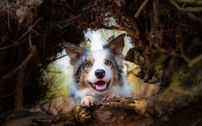 Picture face, nature, tree, animal, dog, dog, the border collie, корневище