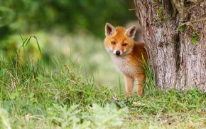 Wallpaper grass, nature, pose, green, background, tree, paws, baby, red, muzzle, Fox, cute, bark, face, cub, ...