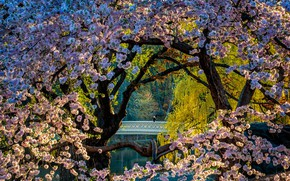 Picture trees, landscape, nature, the city, cherry, pond, Park, spring, New York, the bridge, flowering, Central …