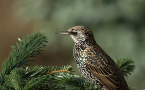 Picture the sun, branches, nature, bird, needles, bokeh, Starling, Starling