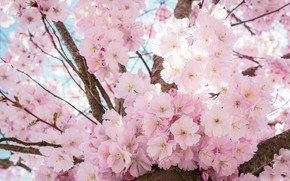 Picture flowers, branches, background, tree, beauty, spring, Sakura, pink, flowering, lush, rich