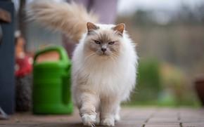 Picture cat, cat, look, pose, tile, garden, muzzle, lake, walk, ragdoll, important