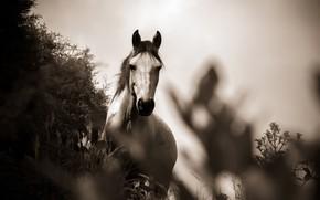 Picture grass, photo, horse, black and white, monochrome