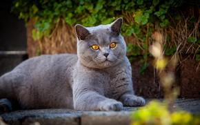 Picture cat, cat, garden, lies, British