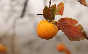 Picture autumn, rain, branch, persimmon