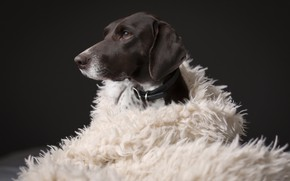 Picture face, dog, coat