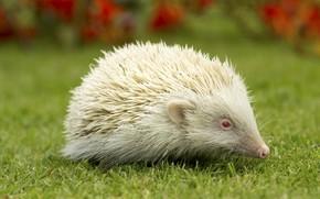 Picture hedgehog, green grass, white the hedgehog, hedgehog albino