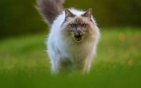 Picture cat, grass, cat, look, pose, glade, muzzle, mouth, walk, ragdoll