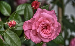 Picture macro, rose, petals, buds, flowering