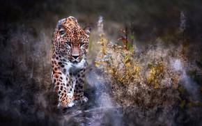 Picture nature, Leopard, walk, big cat, Leopard, Panthera pardus