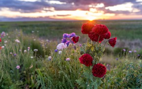 Picture greens, field, summer, the sky, the sun, clouds, sunset, flowers, nature, Mac, Maki, meadow, red, …