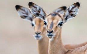 Picture nature, background, Impala lambs