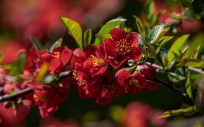 Picture flowers, branch, spring, red, flowering, quince, in bloom, fruit tree