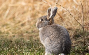 Picture field, look, pose, grey, background, hare, baby, muzzle, sitting, Bunny, cub, wildlife, hare