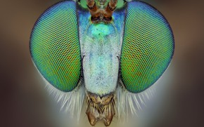 Picture eyes, macro, background, portrait, insect