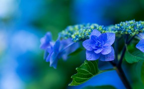 Picture blue, hydrangea, inflorescence