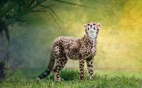Picture predator, baby, Cheetah
