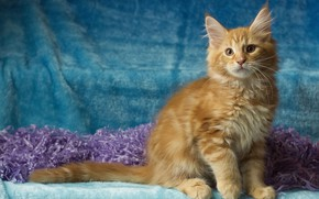 Picture cat, look, pose, kitty, fluffy, red, muzzle, sitting, blue background, Maine Coon, Studio