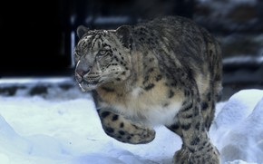 Picture winter, snow, animal, predator, running, IRBIS, snow leopard, Oleg Bogdanov