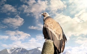 Picture the sky, bird, Vulture