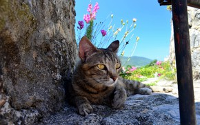 Picture cat, cat, flowers, nature, stones, grey, striped