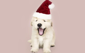 Picture dog, New Year, Christmas, puppy, Santa, Labrador, Christmas, puppy, dog, New Year, cute, Merry, santa …