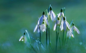 Picture light, flowers, glade, spring, snowdrops, white, green background, bokeh