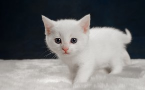 Picture cat, white, look, kitty, baby, fur, kitty