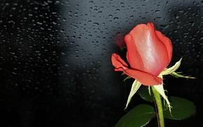 Wallpaper flower, summer, nature, mood, roses, beauty, rose, red rose, flower, beautiful, flowers, beautiful, beauty, harmony, ...