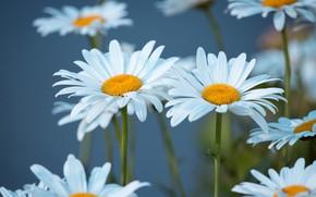 Wallpaper flowers, chamomile, white, blue background, leucanthemum