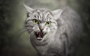 Wallpaper cat, mouth, beast