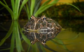 Picture eyes, water, reflection, frog
