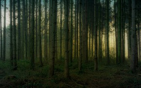 Picture forest, trees, branches, trunks, pine, pine forest
