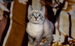 Picture cat, kitty, baby, blanket, kitty, blue eyes