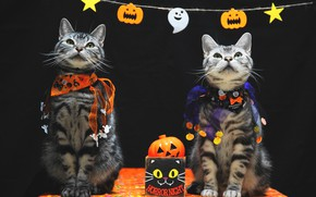 Picture autumn, look, holiday, cats, pair, costume, outfit, pumpkin, black background, a couple, two, Halloween, sitting, …