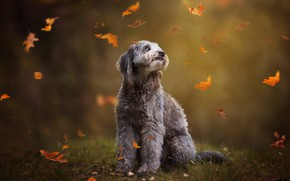 Picture pose, look, dog, grey, nature, leaves, glade, falling leaves, sitting, grass