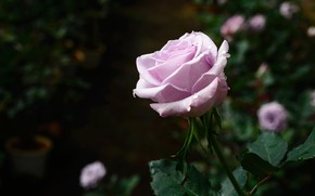 Picture drops, rose, purple