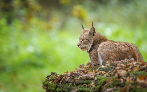 Picture autumn, foliage, lies, profile, lynx