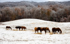 Picture winter, frost, field, forest, snow, trees, landscape, nature, horse, hills, horse, horses, horse, pasture, hay, …