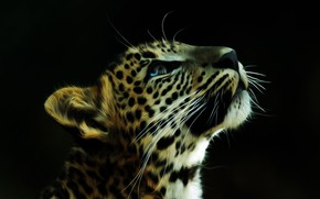 Picture face, background, leopard, coloring
