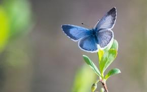 Wallpaper butterfly, butterfly, blue krushina