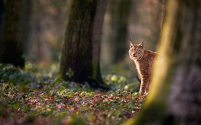 Picture autumn, forest, face, light, trees, nature, trunks, foliage, lynx, Peeps