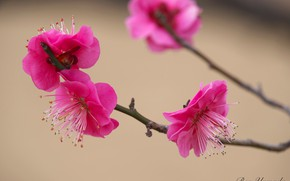 Picture spring, apricot, flowering, I Yamada