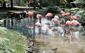 Picture water, nature, Flamingo