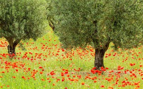 Picture flowers, France, Maki, olive trees, The regional natural Park of Luberon