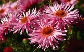 Picture macro, light, flowers, Bush, garden, pink, asters