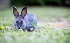 Picture flowers, nature, grey, Grass, Rabbit