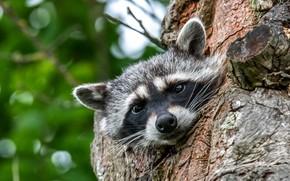 Picture look, face, tree, portrait, raccoon